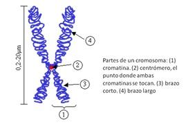 Los brazos cromosómicos también tienen secciones o bandas que están numeradas, la región 22q11 se refiere a la banda 11 (once) del brazo largo del cromosoma 22.