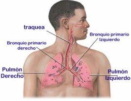 La caja torácica está formada por 12 pares de costillas, conectadas a la columna en la espalda y rodean a los 2 pulmones para mantenerlos seguros. Los pulmones están recubiertos por una membrana que los protege y les da elasticidad para facilitar sus movimientos, que se denomina pleura.