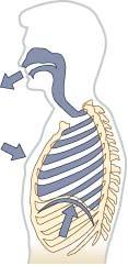 El diafragma es un músculo ancho y plano que divide la cavidad abdominal de la cavidad torácica y ayuda a la función de los pulmones al contraerse y relajarse de manera rítmica y continua y la mayoría del tiempo, de manera involuntaria