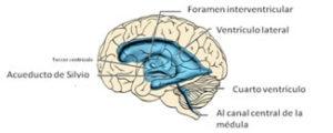 El líquido cefalorraquídeo se produce dentro de unas cavidades cerebrales llamadas ventrículos, que pueden imaginarse como grandes cisternas llenas con líquido y tenemos cuatro de ellas
