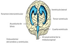 Funcion del liquido cefalorraquideo en el encefalo