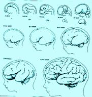 Se denomina prosencéfalo a la parte del bebé que se convertirá en el cerebro.