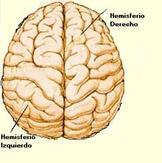 El prosencéfalo se divide en dos hemisferios: derecho e izquierdo que están unidos por un surco central llamado cuerpo calloso