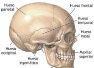Cada hemisferio cerebral se divide en cinco lóbulos: el frontal, el parietal, el temporal, el occipital y la ínsula de Reil.