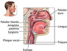 Puede afectar únicamente el labio y la encía o extenderse hacia atrás por el paladar duro y el blando. El perfil es cóncavo y esto se debe al hundimiento que existe en la encía superior; la mandíbula está metida.