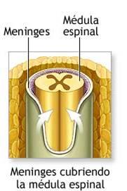 Dentro del tubo neural, las células continúan dividiéndose y proliferando y diferenciándose a un ritmo que varía a lo largo del tubo dependiendo de la estructura que se esté formando. La parte inferior dará lugar a la médula espinal y la parte superior al cerebro.