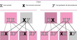 Herencia ligada al cromosoma X: Los genes se transmiten en elcromosoma X que también es el responsable del sexo del hijo.