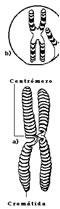 """Cerca del centro de cada cromosoma hay una pequeña región que divide el cromosoma en dos brazos. Esta pequeña región se llama centrómero. El brazo corto de cada cromosoma se llama brazo """"p"""" y el brazo largo se llama brazo """"q""""."""
