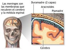 Todo ello, a su vez, queda cubierto por un conjunto de tres membranas, denominadas meninges, que también tiene función protectora. La más externa se llama duramadre, la intermedia es la aracnoides, y la interna es la piamadre.