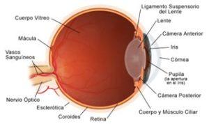¿Cómo trabaja el ojo?