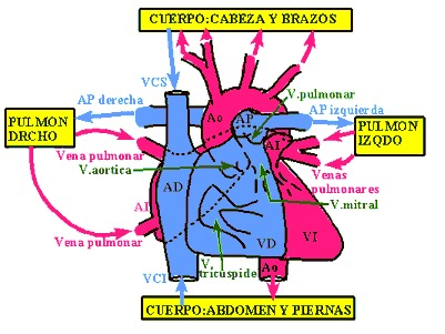 Infogen | Cardiopatías congénitas / Defectos del corazón
