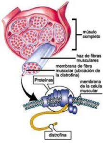 Las fibras musculares afectadas finalmente mueren llevando a la degeneración muscular progresiva que presentan los pacientes afectados.