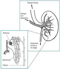 Si los riñones no retiraran esos desechos, se acumularían en la sangre y serían perjudiciales para el cuerpo.