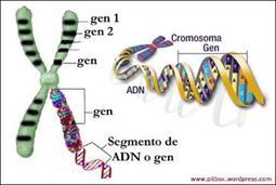 Un organismo tiene los mismos cromosomas durante toda su vida.