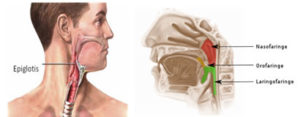 La epiglotis es una especie de válvula en una estructura cartilaginosa que cubre la entrada de la laringe y que se mueve hacia arriba y hacia abajo, impidiendo que los alimentos entren en ella y en la tráquea al tragar