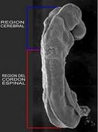 La formación del sistema nervioso se inicia en las primeras fases del desarrollo del embrión