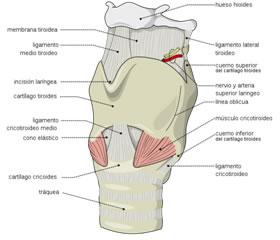 Es una estructura compleja constituida por el hueso hioides y una serie de cartílagos entre los que se encuentra la epiglotis, todos ellos articulados, revestidos de mucosa y movidos por músculos