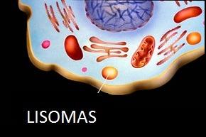 Los lisosomas se encuentran dentro de los macrófagos y juegan un papel muy importante dentro del metabolismo ya que producen cerca de 40 diferentes enzimas