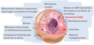 Es causado por un gen defectuoso (alterado o mutado) que se encuentra en el  cromosoma X llamado OCRL1.