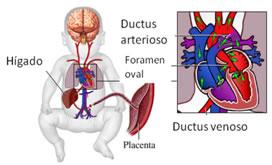 El ducto venoso es un vaso sanguíneo que lleva sangre oxigenada y nutrientes desde el cordón umbilical