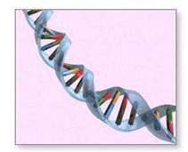 Este DNA mencionado anteriormente es una molécula muy compleja que contiene miles de genes, los cuales dirigen cómo se forma y mantiene un cuerpo.