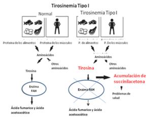 Debido a ello, se acumulan en los tejidos unos aminoácidos, como la tirosina y la metionina y unas sustancias tóxicas, como la succinilacetona y succinilacetoacetato, que a su vez inhiben el metabolismo de las porfirinas