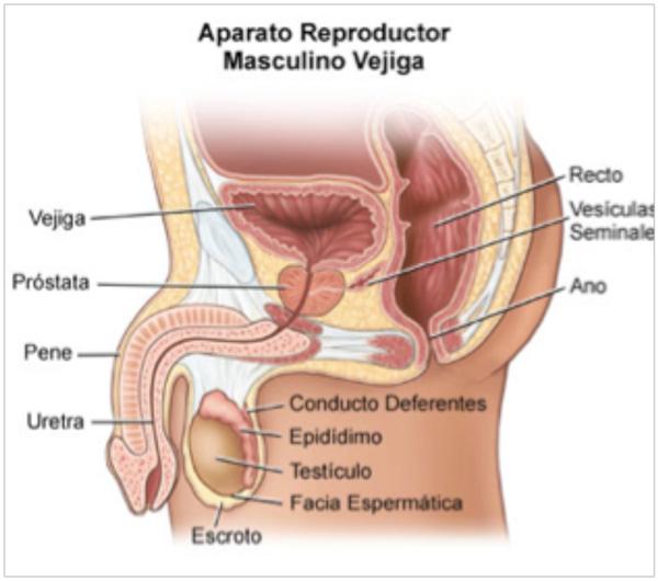 cordón espermático y próstata