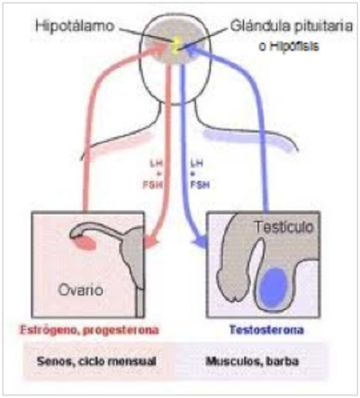 Infogen | Anatomía del aparato genital femenino